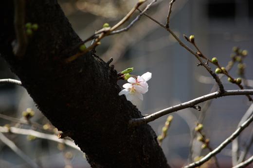 20090319_sakura itirin.jpg