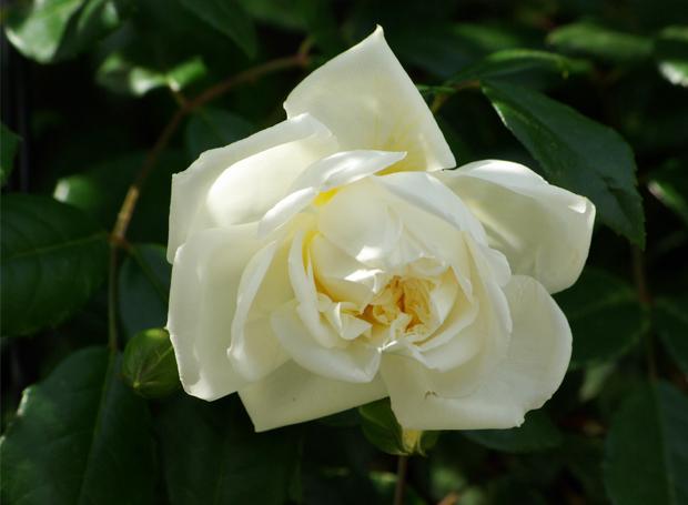 20110516_rosaalba_2.jpg
