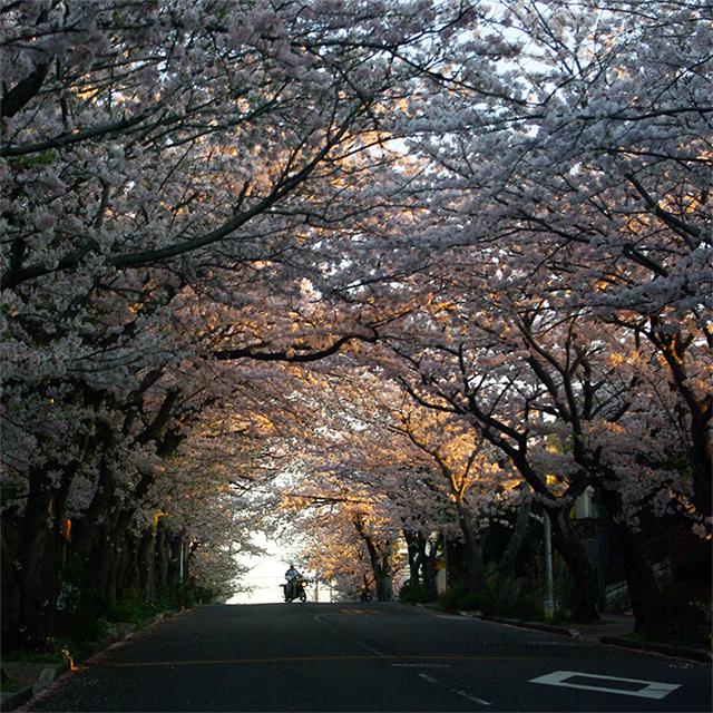 20170414_hiland_sakura_640.jpg