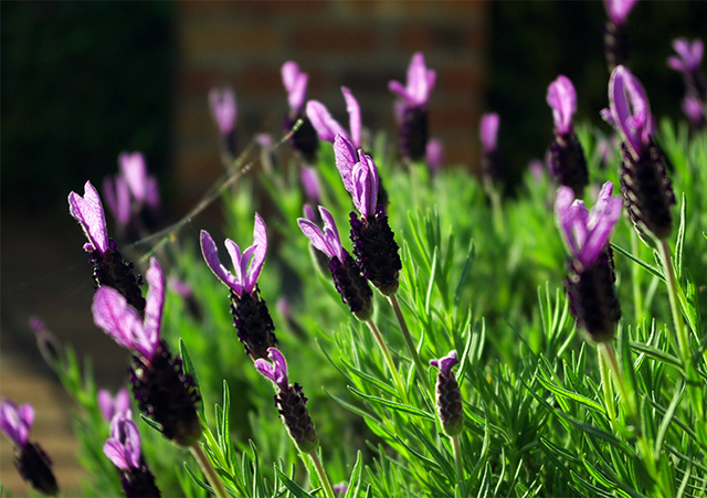 20170430_French_Lavender_640.jpg